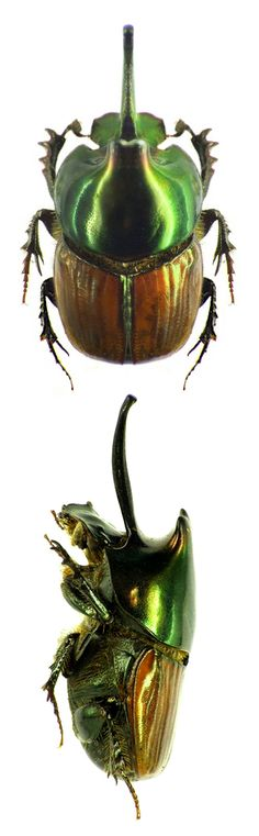 Proagoderus blanchardi