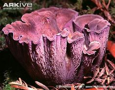 Most popular fungi (including lichens). View videos and photos of 50 of the most popular fungi (including lichens) in nature. Poisonous Mushrooms, Growing Mushrooms, Wild Mushrooms, Stuffed Mushrooms, Mushroom Art, Mushroom Fungi, Weird Plants, Exotic Plants, Mushroom Varieties
