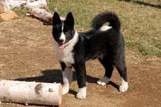 Karelian Bear Dog #puppy - Karjalankarhukoira