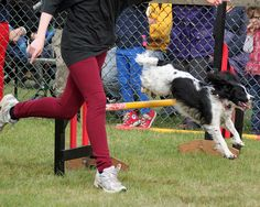 """Dog Agility """"Fizz"""" at The Royal County of Berkshire Show"""