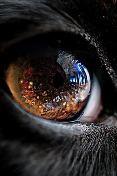 The eye of a dog
