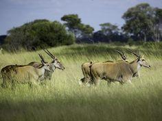 zimbabwe eland