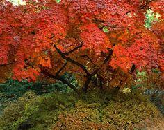 Maple tree, Seoul, Korea
