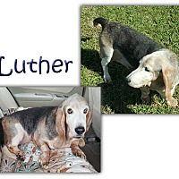 Marietta, Georgia - Basset Hound. Meet Luther, a for adoption. https://www.adoptapet.com/pet/19783767-marietta-georgia-basset-hound