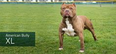 "The American Bully, an offshoot of the American Pit Bull Terrier, comes in 5 sizes. This is virtually unheard of in a real, distinct dog breed but typical for a ""designer dog,"" aka, a joke. http://www.ukcdogs.com/Web.nsf/Breeds/CompanionDog/AmericanBully"