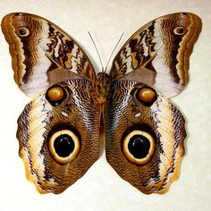 Caligo atreus ajax real owl mimic butterfly butterflies from Peru framed in an Archival Conservation Display