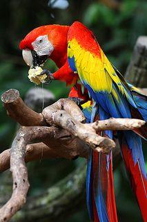 Scarlet Macaw | by kampang