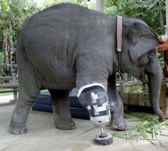 elephant with a prosthetic leg.