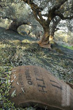 Colheita de azeitonas no vale de Messinia, Grécia.  Fotografia: http://mymessinia.com