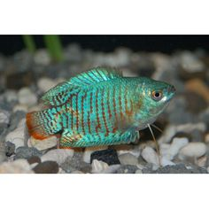 "Dwarf Gourami (Freshwater, Petco) $5.19 Community 10+ Gallons, Up to 2""  Well suited for community tanks does best in a well planted tank Recommended that the tank is located in a quiet location and that frequent water changes are performed"