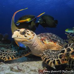 Our photo of the day in honor of #turtlethursday. Thanks to @FlyDiveSki for tagging your photo PADI on Instagram.