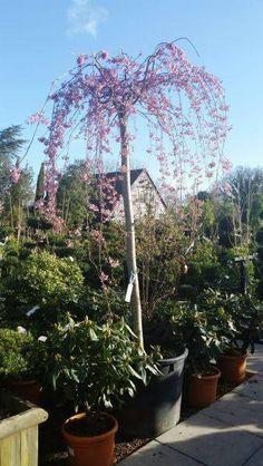 Prunus Subhirtella Pendula Rosea, available from Paramount Plants and Gardens, Crews Hill, London UK