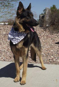 Tuck, a handsome black and tan German Shepherd