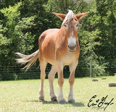 working horses and mules | Draft Mule @ Frog Pond Draft Horse Rescue | Gentle Giants-Working For ...
