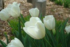 Early spring tulips 4.8.12