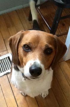 Winston our beagle.