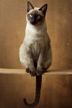 All cats are unique. Individual personality traits are displayed within a particular breed depending on how the cat is raised and his early socialization. Pretty Cats, Beautiful Cats, Animals Beautiful, Cute Animals, Wild Animals, Siamese Cats, Cats And Kittens, Sphynx Cat, Cool Cats