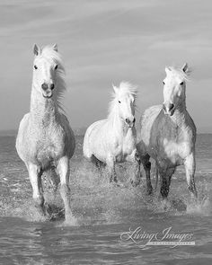 Water Run for Three White Horses, in the Camargue, Fine Art Horse Photograph by Carol Walker www.LivingImagesCJW.com
