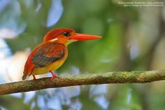 Rufous-backed kingfishers are found in Brunei, India, Indonesia, Malaysia, the Philippines and Thailand, preferring tropical lowland forests near lakeshores and streamsides. Photographed here on Bangka Island (Indonesia). (Syahputra Putra)