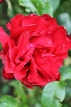 Red Rose, no name