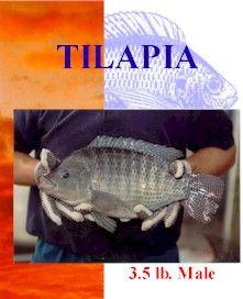 Tilapia Raising, Tilapia freshwater fishpond, Backyard Tilapia.