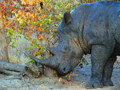 Home Decor Photograph Digital Download Rhino DSCF1027 at Sunset Photography by Nora Lemmon by AfricanGranny on Etsy
