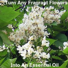 Learn how to turn any fragrant flower or herb into an essential oil via the solvent extraction method. Free information from Herbal How To Guide.