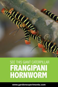 Can You Believe This Giant Caterpillar is Real? -- The frangipani hornworm moth (Pseudosphinx tetrio) is the biggest caterpillar I've ever seen - one caterpillar was nearly the length of my hand. It can grow to  inches in length.    Because it feeds on the toxic Plumeria plants, it has a bad taste and is toxic to predators.    #caterpillars #moths #plumeria #frangipani #puertorico #gardenpests #gardening #flowergardening via @gardenexperimnt