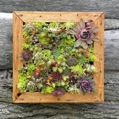succulent vertical living wall art -  got to get going with succulents - wonder if an old panelled door or window would work?