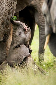 African elephant baby having a bite of a branch Elephant Love, Elephant Art, African Elephant, Elephant Images, Elephant Gifts, Elephant Pictures, The Animals, Cute Baby Animals, Funny Animals