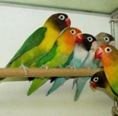 Lovebirds, both the avian variety, and the human kind, are synonymous with occasions connected with romance - from puppy love, to golden anniversaries.  True lovebirds are smaller parrot type birds, native mostly to Africa, and are popular with breeders and bird lovers. Masked Lovebirds, like the dark-headed ones in the photo to the left, are one of the more popular species of avian lovebirds. (You'll find some other love bird pictures on this page.)