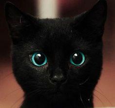 photographie chat noir, yeux bleu