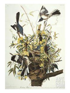 Mocking Bird. Northern Mockingbird (Mimus Polyglottos), Plate Xxi, from 'The Birds of America' Giclee Print by John James Audubon at Art.com