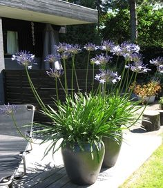 Love the agapanthus .... ♥♥ ....
