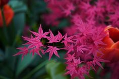 Acer palmatum ' Beni Komachi ' in spring | Flickr - Photo Sharing!