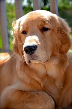 Another beautiful golden retriever