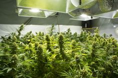 Top Challenges for Indoor Cannabis Growers