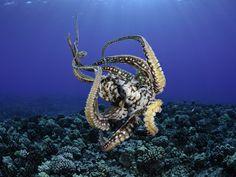 Female Day Octopus (Octopus Cyanea) Showing Suckers, Pacific Ocean, Maui, Hawaii