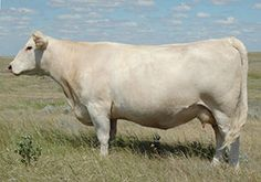 Charolais Cattle - Google Search