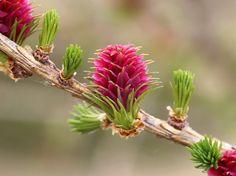 Fiore femminile di Larice