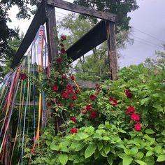 "Amanda Thomsen on Instagram: ""Don Juan climbing rose is speaking to me tonight. He is whisper-shouting ""BUY MORE ROSES, FOOL!"" #climbingroses #roses #donjuanrose #pride🌈…"""