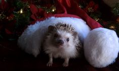 Holiday Hedgehog Christmas Pet photography