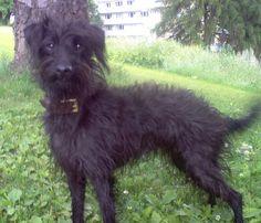 Pootalian, Pootalians, Italian Greyhound Poodle Hybrid Dogs - looks just like Spooky!