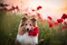 Bagietka Serenczas Dog Photography, Husky, Corgi, Animals, Corgis, Animales, Animaux, Animal, Animais