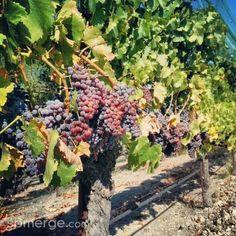 #santabarbara #winetasting #grapes #vine #sbmerge