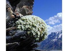 Androsace helvetica -Alpy francuskie