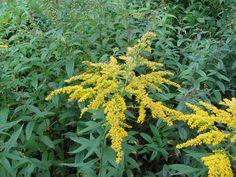 Zlatobýl kanadský (Solidago canadensis) je invazivní rostlina statného vzrůstu, která v druhé polovině léta a začátkem podzimu má svůj vrchol ozdoben chocholem žlutých květů.