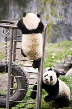 Panda cubs playing at Wolong Reserve in China. Panda Love, Red Panda, Cute Panda, Panda Panda, Animals And Pets, Baby Animals, Cute Animals, Wild Animals, Baby Panda Bears