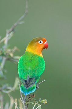 Close-up Of A Fischers Lovebird