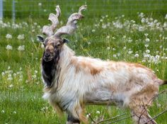 Fabulous horns AND a great beard! This guy won the genetic lottery.   The Markhor, a goat-antelope, is found in sparse woodland in the Western Himalayas. (Photo: Ron Dunnington)